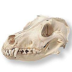 Dog Skull Diagram Dog skull anatomy model   Dog Skeletal Reference ...