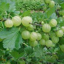 Amla: Una planta prodigiosa para la Salud