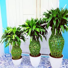 588 Likes, 8 Comments - Artful Plants Feng Shui Plants, Linda Davis, Lucky Plant, Instagram Names, Lucky Bamboo, Colorful Plants, Succulents Garden, Houseplants, Beautiful Gardens