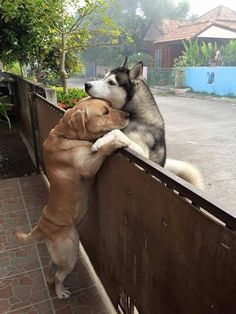 """Because sometimes what you need most is to seetwo doggos meeting at a fence to share a comforting hug. Meet Messy, a calm Labrador retriever, and Audi, an anxious Siberian husky. When Audi's human left their gate open, he seized the opportunity to run out of his yard and across the way to visit his best pupper friend.   According to Messy's human, Oranit Kittragul, this was the very first time the dog got to meet face to face, paw to paw, snoot to snoot.    """"When he [Audi] feels lonely and…"""