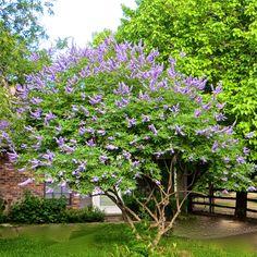 Vitex agnus castus; Chaste Tree; Good for hormone balancing