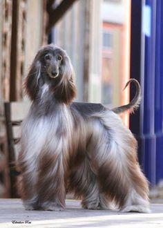 Blue afghan hound.