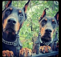 The Doberman Pinscher is among the most popular breed of dogs in the world. Known for its intelligence and loyalty, the Pinscher is both a police- favorite Black Doberman, Doberman Mix, Beautiful Dogs, Animals Beautiful, Cute Animals, Pinscher Doberman, European Doberman, I Love Dogs, Dogs And Puppies