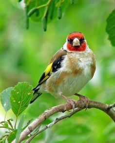 Cj Roberts: Goldfinch (Conwy, North Wales)  A Goldfinch in the Conwy Valley (Latin name Carduelis carduelis) and of the family (Fringillidae).  A highly coloured finch with a bright red face and yellow wing patch. Sociable, often breeding in loose colonies, they have a delightful liquid twittering song and call. Their long fine beaks allow them to extract otherwise inaccessible seeds from thistles and teasels. In winter many UK goldfinches migrate as far south as Spain.