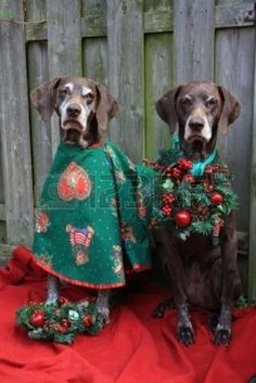Two german shorthaired pointers dressed for christmas