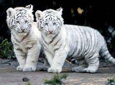 Bébé Tigre Blanc Plus