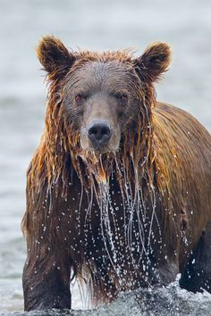 natvrel: wet bear      Soaked by Richard Bernabe