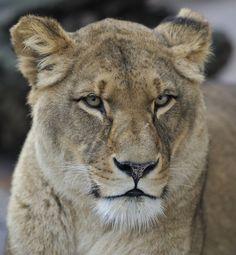 Lioness Portrait by Josef Gelernter on 500px