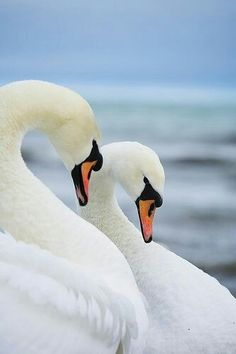 Mute Swan pair for life. Swan Love, Beautiful Swan, Beautiful Birds, Swans, Cygnus Olor, Mute Swan, Blue Springs, Bird Feathers, Belle Photo