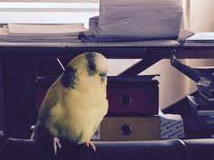 My bird called yellow