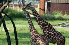 Mom and baby giraffe at Kidani Village in Disney's Animal Kingdom Lodge.