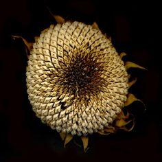 Sunflower Sonnenblume Dandelion, Flowers, Plants, Sunflowers, Autumn, Dandelions, Flora, Plant, Royal Icing Flowers