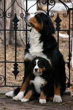 Great Bernese Mountain mom & puppy