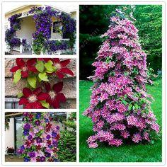 100ピース/バッグクレマチス種子花クレマチスバインズ盆栽フラワー種子多年生の花クライミングクレマチス植物用ホームガーデン