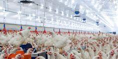 USDA: Baking Birds Alive is NOT Humane!
