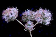 https://flic.kr/p/wdh1r6 | Flower Clusters | A UVIVF photo of a cluster of flowers.