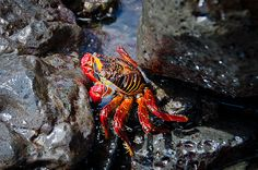 Galapagos: Sally Lightfoot Crab