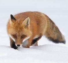 beautiful-wildlife:  Red FoxbyCorey Hayes