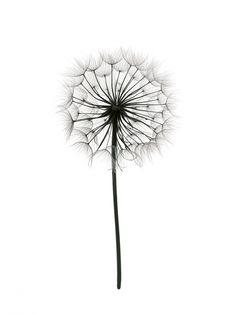 Botanisk poster | Print med fotografi av maskros | Tavlor och affischer online