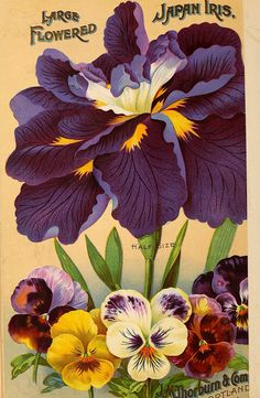 """heaveninawildflower: """" Back cover of J. Thorburn & Co 'Bulbs for Fall Planting' 1904 catalogue with an illustration of Large-flowered Japan Iris and Pansies. Thorburn & Co, Cortland St, N. Department of Agriculture, National. Art Vintage, Vintage Artwork, Vintage Images, Seed Illustration, Botanical Illustration, Seed Art, Vintage Seed Packets, Seed Packaging, Seed Catalogs"""