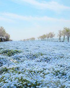 Osaka Maishima Seaside Park/Heavenly Place With 1 Million Nemophila Flowers Blue Flowers, Wild Flowers, Beautiful Flowers, Nature Aesthetic, Flower Aesthetic, All Nature, Flowers Nature, Beautiful World, Beautiful Places