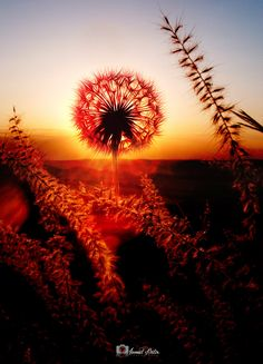 Dandelion Sunset - Karahindiba Çiçeği - Gün Batarken... www.ismailbilir.com https://www.facebook.com/ismailbilir.400 https://www.instagram.com/ismail_bilir40/