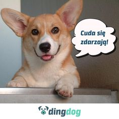 Pembroke Welsh Corgi Adult - such a happy faced pooch - looks like they are smiling! Cute Corgi, Corgi Dog, Cute Puppies, Cute Dogs Breeds, Dog Breeds, Pekinese, Corgi Pictures, Pembroke Welsh Corgi, Cute Animals