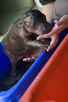 Baby Hippo! I want a hippopotamus for Christmas! Only a hippopotamus will do. :)