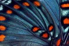 Butterfly Wing by MossyOwls, via Flickr