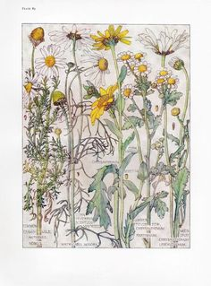 Chamomile- Wild Flower Botanical Print by Isabel Adams - Antique Print