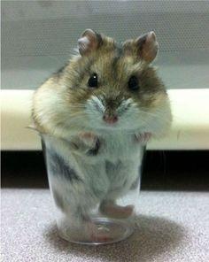hamster i glas