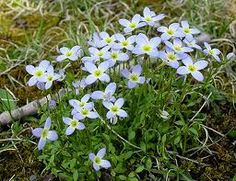 Bluets-first flower to come up in the Spring in the East