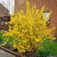 Carefree Forysthia Lynwood Gold lights up the spring with its golden yellow blooms. The whole shrub produces an abundance of blooms! When colors fade, dark green foliage forms.  Great for privacy and shaping.  This forsythia can reach up to 8 – 10 feet in height.  (Forsythia x intermedia)
