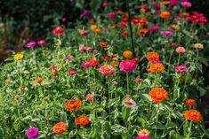 Zinnien Gardening, Flowers, Plants, Blog, Green Garden, Mulches, Potting Soil, Fruit Garden, Summer Flowers