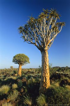 Quiver Tree, Namibia, Africa