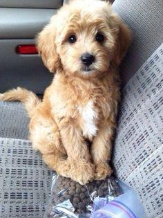 Golden Doodle puppy!