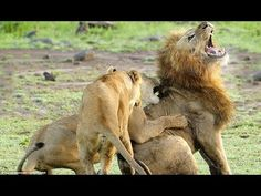 Discovery channel animals documentaries - The Lion Army - Nature documentary 2016 Animal planet HD -