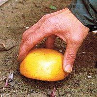 Schnecken wirksam mit einfachen Maßnahmen bekämpfen:Legen Sie Köder aus. Eine auf den Boden gelegte halbe Grapefruit oder Orange zieht Schnecken an, die Sie dann absammeln können.