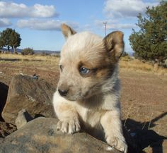 Red heeler puppy :)  love me,, and my baby blue eyes