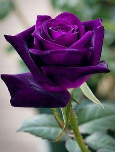 Beautiful Rose Flowers, Exotic Flowers, Amazing Flowers, Colorful Flowers, Purple Flowers, Beautiful Flowers, Purple Love, All Things Purple, Rose Reference