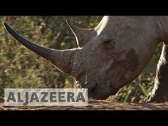 Exclusive: S African minister linked to rhino poaching - News from Al Jazeera