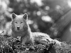 Arctic Wolf by Ed Burrows on 500px