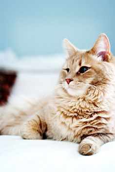 American Bobtail cat, 10 Cat Breeds For Dog Lovers
