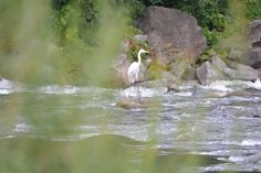 Egret on the river Vah. Home And Away, River, Bird, Photography, Animals, Photograph, Animaux, Photography Business, Rivers