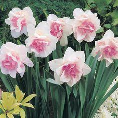 narcissus Луковичные Цветы, Нарциссы, Посадка Цветов, Цветочный Сад, Тюльпаны, Фиалки, Герани, Цветок Нарцисс, Красивые Цветы