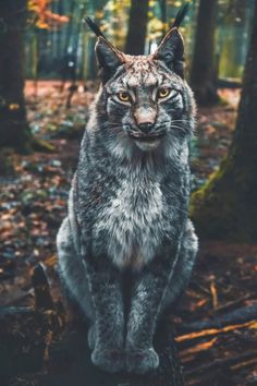 """[New] The 10 Best Travel Today (with Pictures) - The goal is to see the lynx re-established in the German Uplands and the Bavarian Alps by Without human aid these lithe predators will not be able to regain their habitat."""" Photo and caption by Beautiful Cats, Animals Beautiful, Animals And Pets, Cute Animals, Nature Animals, Eurasian Lynx, Image Nature, Nature Nature, Science Nature"""