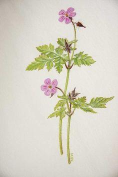 Google Image Result for http://www.dundee.ac.uk/botanic/exhibitions/artsale2011/3%2520Herb%2520Robert.jpg    Herb Robert - Magic