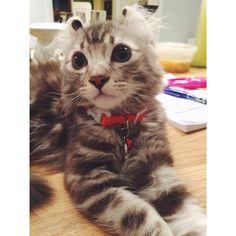 American curl, cat