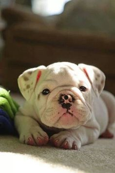 English bulldog. I don't care what others say this dog is flippin' adorable!