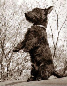 eacf22926a0 Vintage 1941 Photo of Scottie Dog
